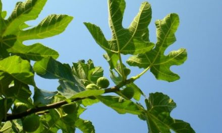 Going Deeper with the Fig Leaves